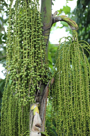 Betel palm or Betel nut or Areca catechu green raw in bunch