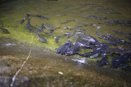 fish in Khao Cha Mao Waterfall in Rayong Thailand