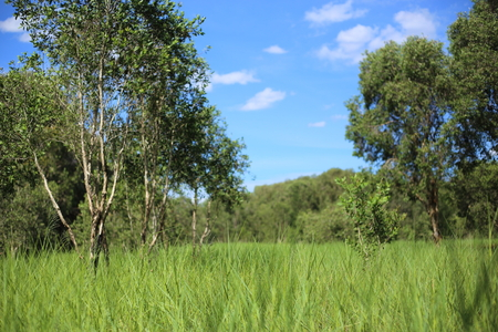 rayong: Grass and Melaleuca trees Wetland in Rayong Thailland Stock Photo