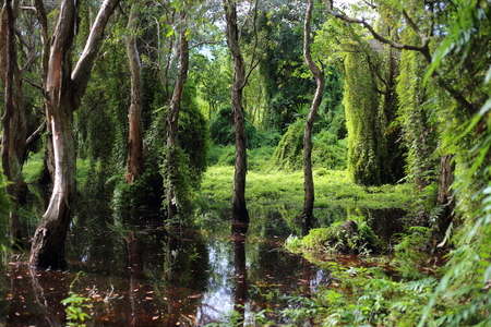 rayong: Green forest and Melaleuca trees Wetland in Rayong Thailland Stock Photo
