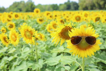 asteraceae: Sunflower and glasses