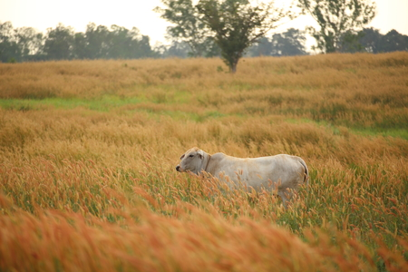 bullock animal: cow and Pennisetum pedicellarum weed plant flower in Wide field Stock Photo