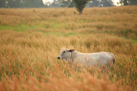 bullock: cow and Pennisetum pedicellarum weed plant flower in Wide field Stock Photo