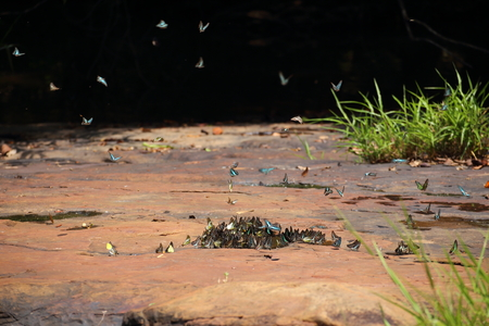 Butterflies swarm eats minerals in Pang Sida National Park at Thailand