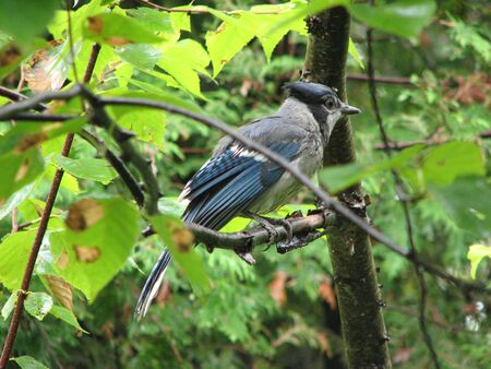 green jay: Bluejay en �rbol