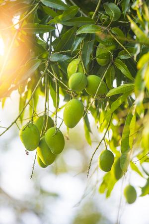 Mango and inflorescence Stock Photo
