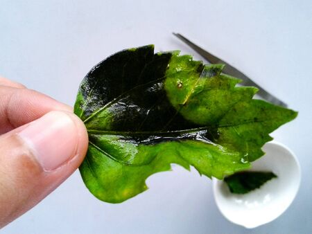 Science experiment starch test with iodine on leaf