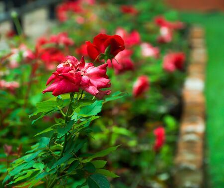 depth of field: roses with depth of field Stock Photo
