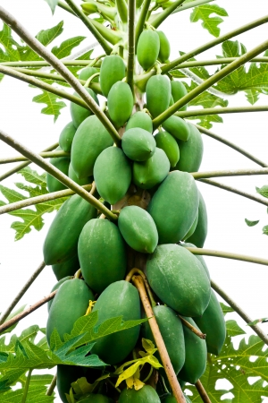 papaya tree: Papaya Tree Stock Photo