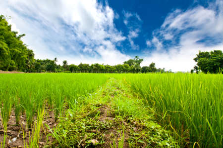 Rice field green grass with blue sky photo