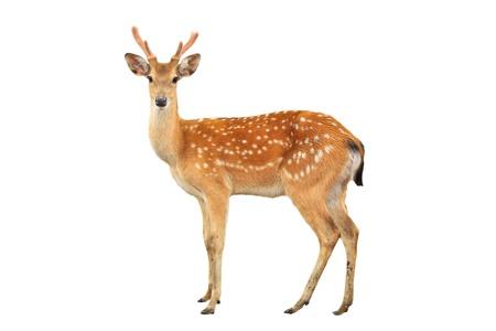 ciervo: ciervo sika aislado sobre fondo blanco