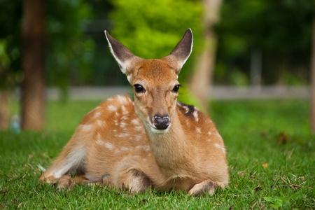 Sika Deer photo