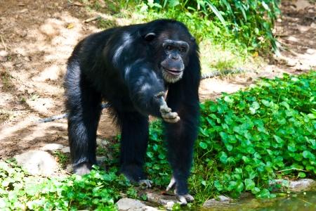ngamba: chimpanc� quiere pl�tano en el parque zool�gico Foto de archivo