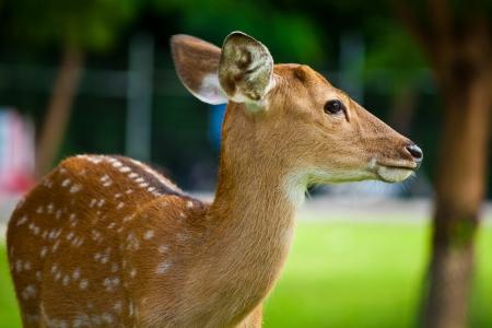 Sika deer in Chiang Mai Night Safari Stock Photo - 14952075