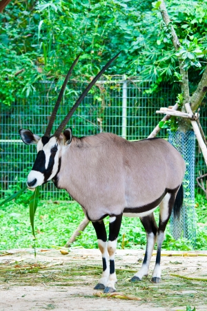oryx gazella or Gemsbok in the zoo photo