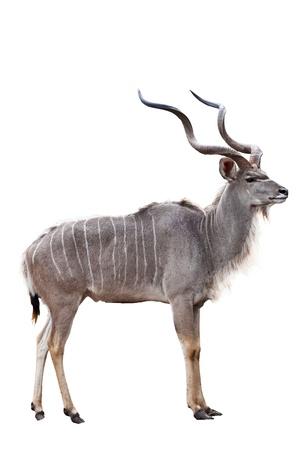 greater: kudu on white background