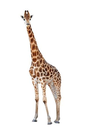 girafe: Giraffe isolated