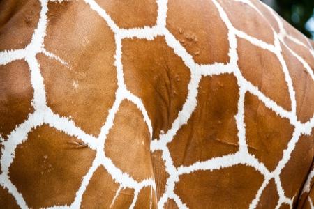 herbivore natural: giraffe skin fur background