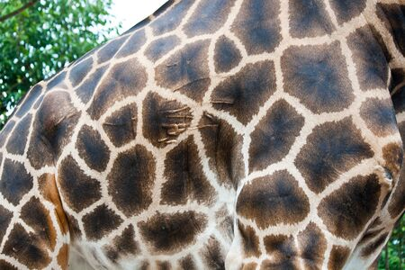 giraffe skin fur background Stock Photo - 15444628