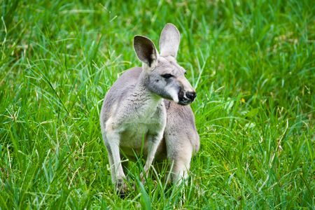 kangaroo on green grass
