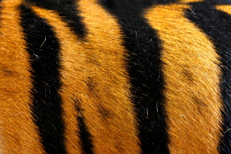 texture of real tiger skin  fur