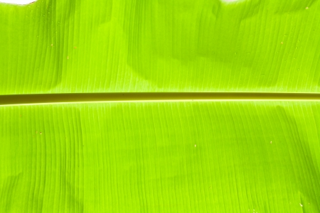 veining: green leaf banana palm tree Stock Photo