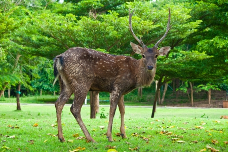 black tail deer: Sika Deer