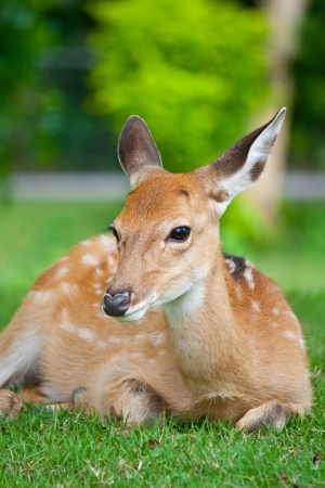 fawn: Sika Deer