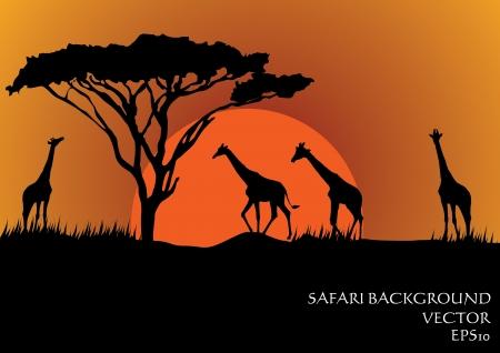Silhuetas de girafas no safari do sol do vetor do fundo
