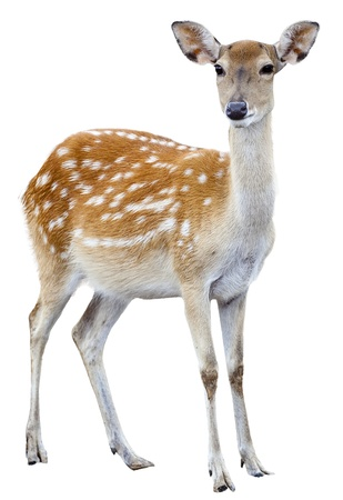 sika deer on white background isolated