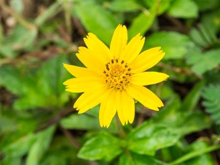 flower close up: Dahlberg daisy flower