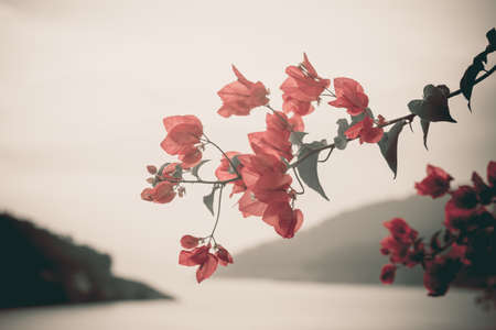 Bougainvillea hybrida Vintage style photo