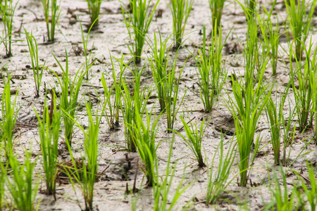Young rice sprout in field rice