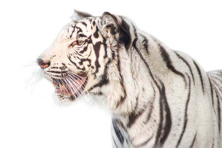 tiger isolated: white tiger on white background