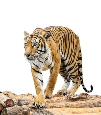 tigresa: Tiger aisladas sobre fondo blanco