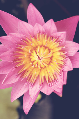 lotus effect: lotus flower top view - Vintage effect style pictures