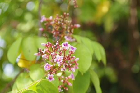 Flower and leaf of star fruit (Averrhoa carambola) Stock Photo