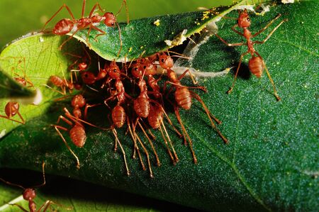 This picture is idicated for a red ant teamwork to create a resting  photo