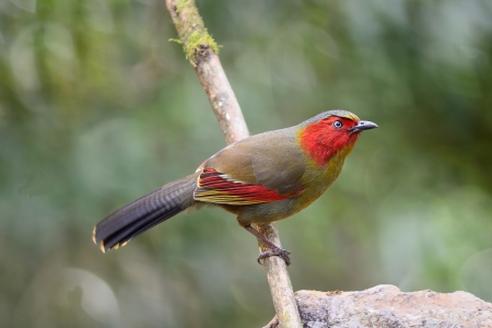 laughingthrush: Scarlet-faced Liocichla  Liocichla ripponi Habitat   Secondary  growth, scrub and grass, broadleaved evergreen forest  Stock Photo