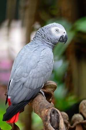 Beautiful grey parrot, African Grey Parrot (Psittacus erithacus), standing on a branch