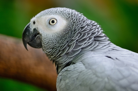 Beautiful grey parrot, African Grey Parrot (Psittacus erithacus), face profile photo