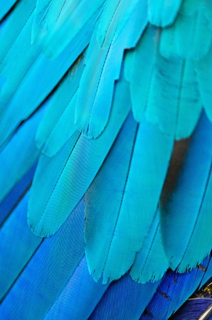 Pattern of Blue and Gold Macaw feathers photo