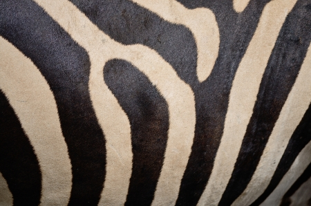 Skin of Common Zebra, Burchells Zebra photo