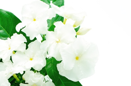crimped: Crepe Jasmine or East Indian Rosebay (Ervatamia eornaria), tropical shrub having glossy foliage and white fragrant nocturnal flowers with crimped or wavy corollas; northern India to Thailand