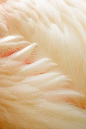 Greater Flamingo (Phoenicopterus roseus) feathers photo