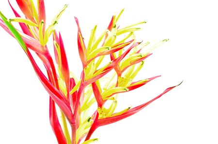 Red Heliconia flower, Heliconia psittacorum 'Lady Di', tropical flower isolated on a white background photo