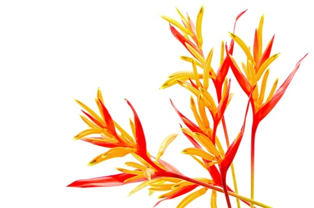 Red and orange Heliconia flower, Heliconia psittacorum 'Rubra', tropical flower isolated on a white background photo