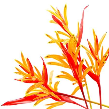 붉은 색과 오렌지색 헬리 꽃, 헬리의 psittacorum '홍색', 흰색 배경에 격리 된 열대의 꽃