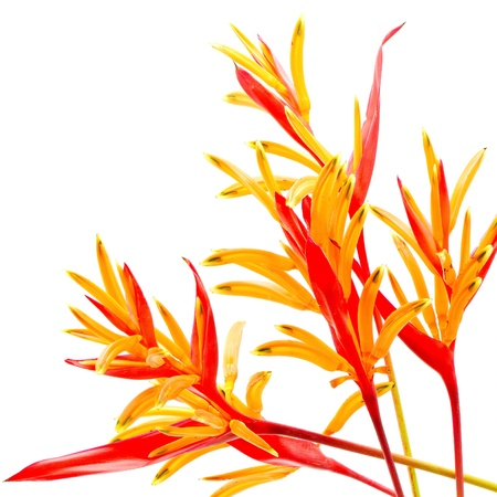 Red and orange Heliconia flower, Heliconia psittacorum Rubra, tropical flower isolated on a white background photo