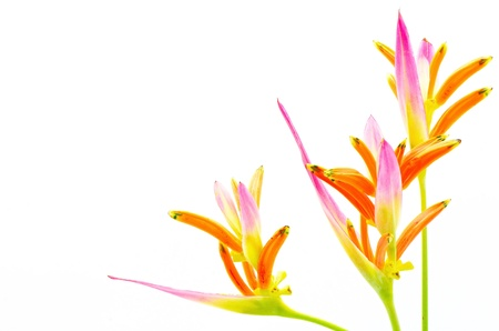 sassy: Pink Heliconia flower, Heliconia psittacorum Sassy, tropical flower isolated on a white background Stock Photo